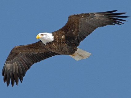 bald_eagle_adult2